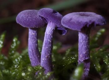 purple mushroom.png