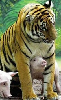 tiger and piggies