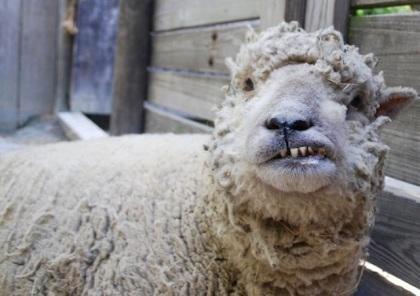 angry sheep.jpg