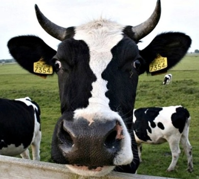 black & white cow.jpg