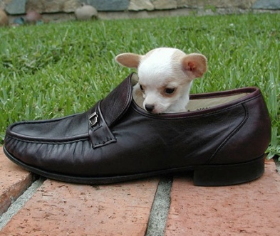 chihuahua in a shoe.jpg
