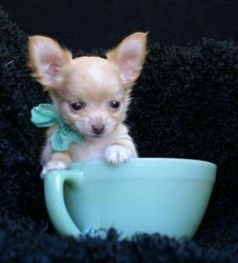 chihuahua inn a cup