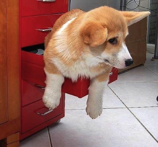cute corgie in cabinet