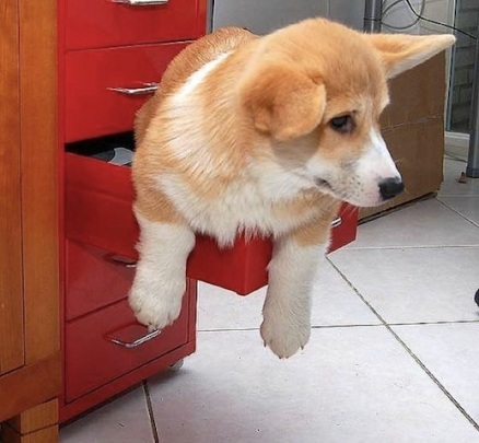 cute corgie in cabinet