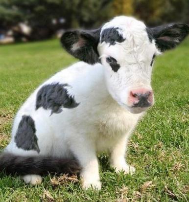 cute cow.jpg