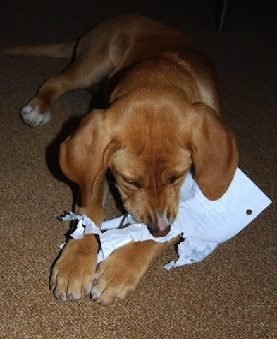 cute dog chewing paper