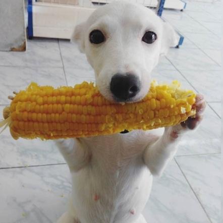 cute dog eating corn