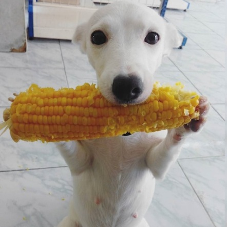 cute dog eating corn
