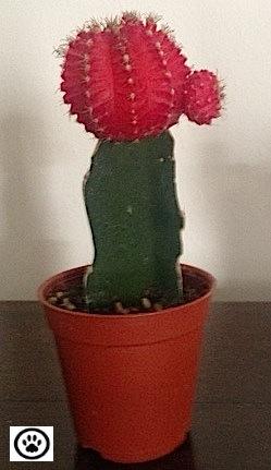 moon cactus