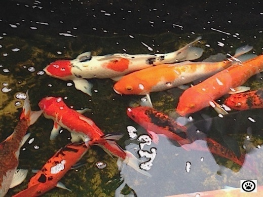 pond with koi.jpg
