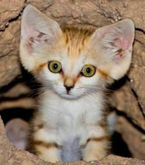 cute cat with big ears