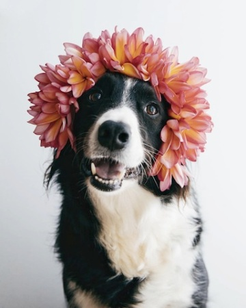 cute collie