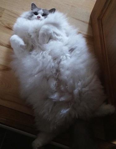 fluffy cat-1