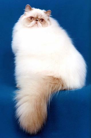 fluffy cat-3
