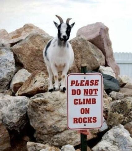 funny goat