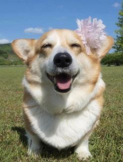 happy corgi