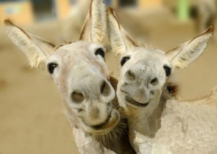 happy donkeys