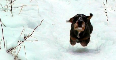 dachshund on the snow-1