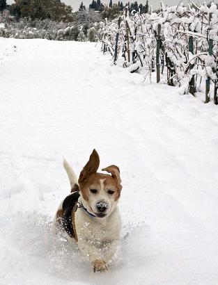 dacshund in snow