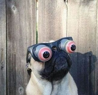 cute pug with funny glasses