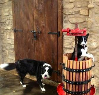 border collies at winery