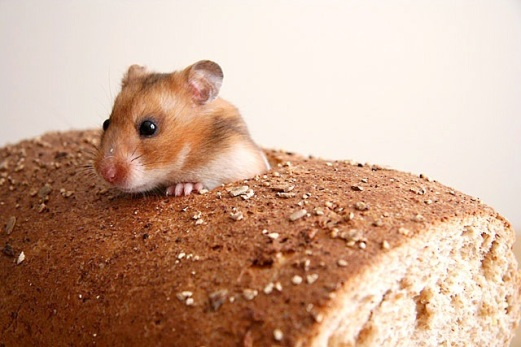 mouse_in_bread