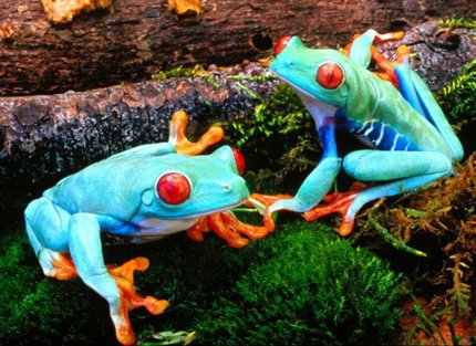 poisonous_frogs