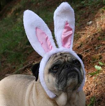pug with bunny ears