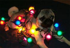 pug with lights