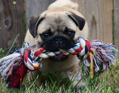 pug with rope