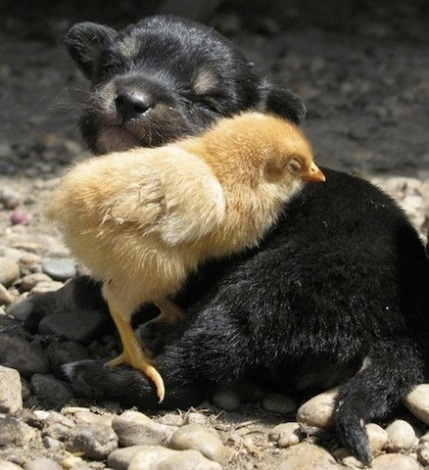 puppy and chick
