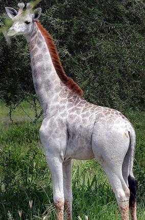 rare giraffe
