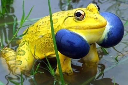 yellow frog