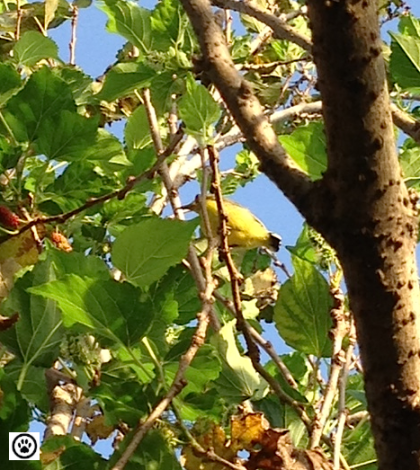 bird on mulberry tree