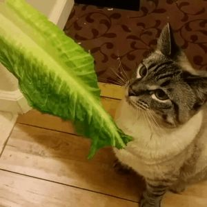 cat with lettuce