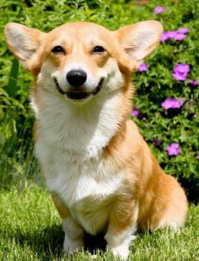 cute corgi smiling