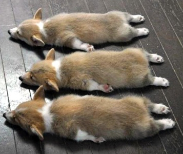 cute corgis sleeping
