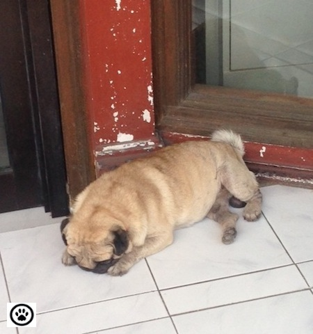 cute pug sleeping