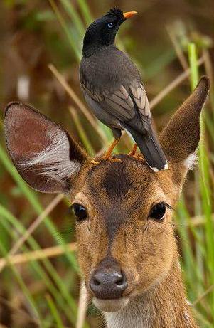 deer with bird