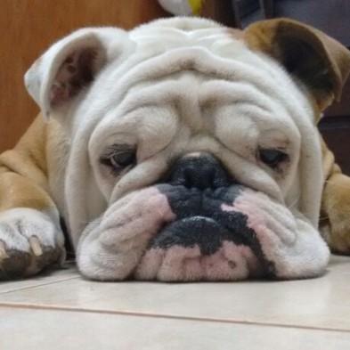 bored bulldog.jpg