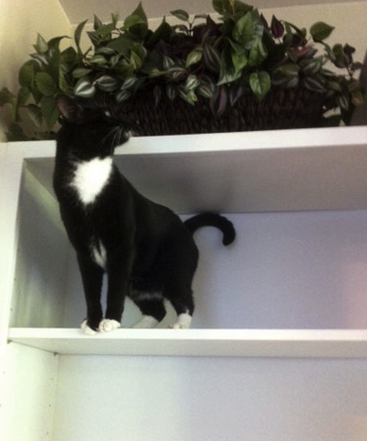cat on shelf.png