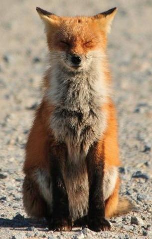 fox medittating