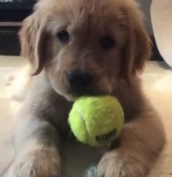 pup with tennis ball