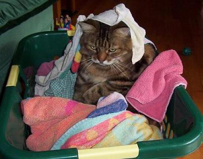 angry cat in laundry basket
