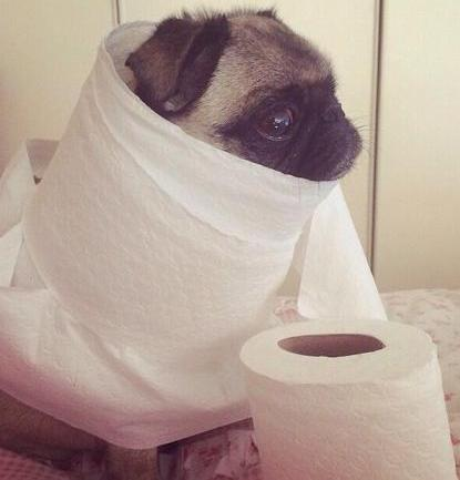 pug and toilet paper