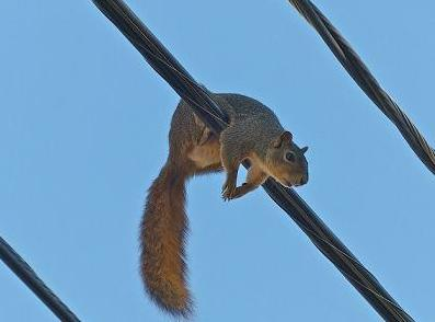 squirrel on the line