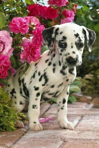 little dalmatian