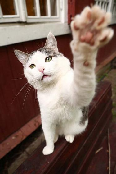 lefthanded cat