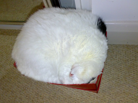 cat sleeping in shoe box