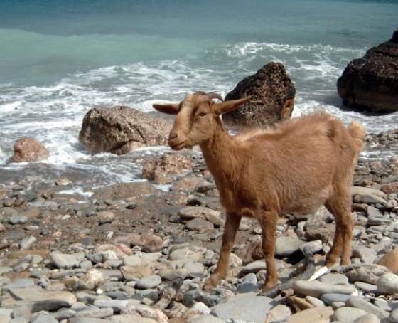 goat at sea.png